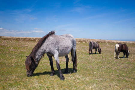 exmoor: Wild Exmoor Ponies on the summer pasture, Exmoor,Great Britain