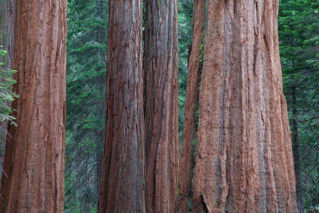 sequoia national park: Giant Sequoia redwood trees in Sequoia national park, Sierra Nevada, California