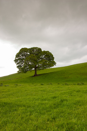 yorkshire dales: Lonely tree on the pasture in Yorkshire Dales, Great Britain Stock Photo