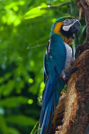 ararauna: Blue Macaw in the in the Jardin Botanique de Deshaies, Guadeloupe island