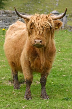 angus: Highland aberdeen angus cow grazing green grass on a farm in Scotland Stock Photo