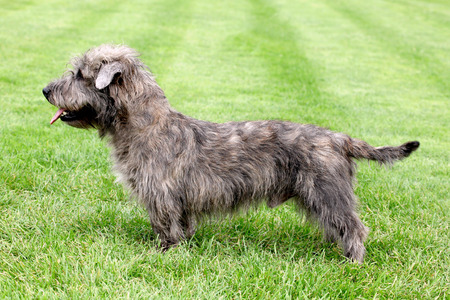 glen: Typical Imaal Terrier on a green grass lawn Stock Photo