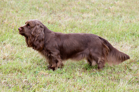 Typical  Sussex Spaniel dog in the spring garden