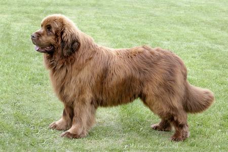 newfoundland dog: Typical  Brown Newfoundland  dog in the spring garden