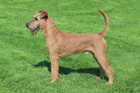 Typical  Irish Terrier in the spring garden