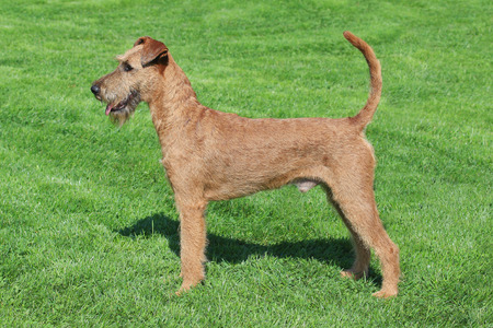 Typical  Irish Terrier in the spring garden