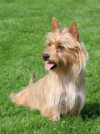 silky terrier: Typical  Australian Silky Terrier  in the spring garden