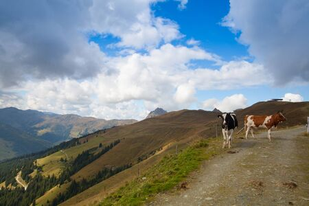 tyrolean: Two cows on the trail in autumn Tyrolean Alps