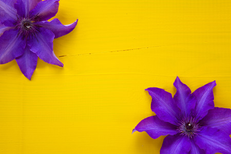 clematis: Two purple clematis isolated on wooden desk