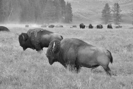 hayden: The herd of typical American Bison on the pasture in Grand Teton National Park - Black and White Photo Stock Photo