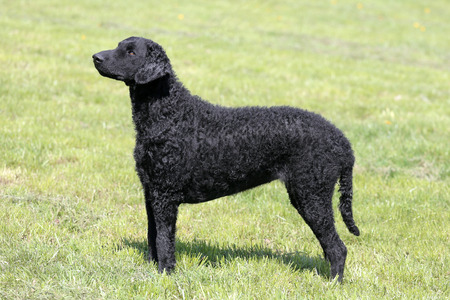 Typical Curly Coated Retriever in the spring garden