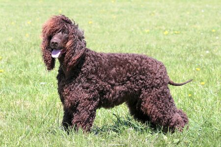 Typical Irish Water Spaniel in the spring garden Stock Photo