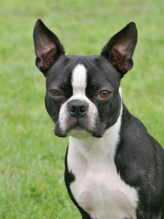 funny boston terrier: Typical Boston Terrier in the spring garden Stock Photo