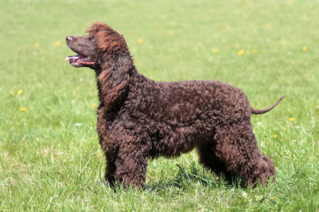 Typical Irish Water Spaniel in the spring garden Reklamní fotografie