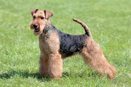 Typical Welsh Terrier  in the spring garden