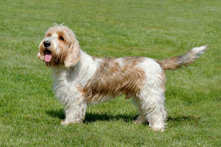 Typical Petit Basset Griffon Vendeen in the spring garden