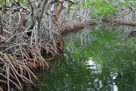 mangroves: Mangroves in the Florida everglades,USA Stock Photo