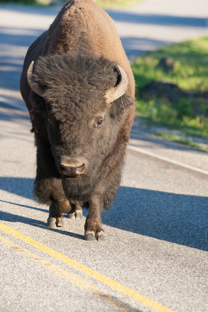 Lonely bison on the road in Yellowstone National Park, Wyoming, USA