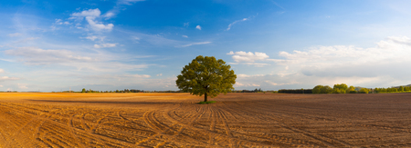 siembra: Memorable tree on the empty spring field. Panorama picture.