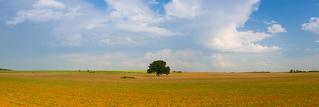 Memorable tree on the empty corn field. Panorama picture.