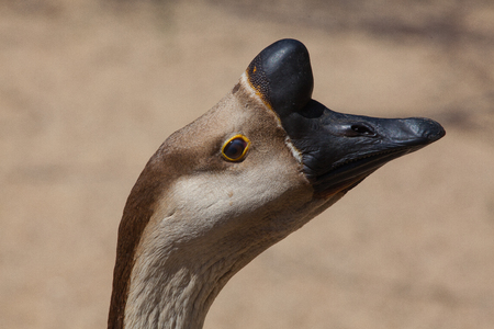 Portrait of typical brown Chinese Goose also known as Swan Goose  in the farm