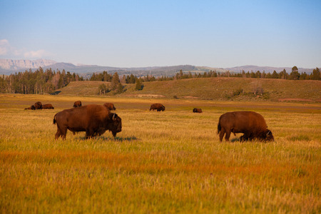 The herd bison in Yellowstone National Park, Wyoming. USA.  The Yellowstone Park bison herd in Yellowstone National Park is probably the oldest and largest public bison herd in the United States.
