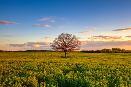 Memorable lonely tree on the field at sunset in Cholupice, Czech Republic Stockfoto