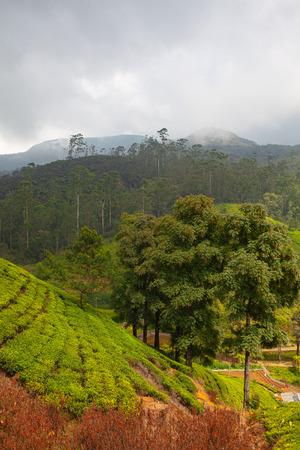 Nuwara Eliya tea plantation in Sri Lanka. Nuwara Eliya is the most important place for tea plantation and production in Sri Lanka.