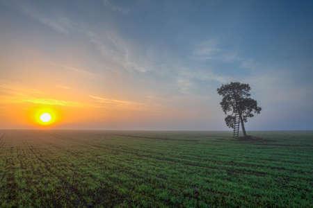 Memorable tree on the field in the morning, mist. Czech Republic.
