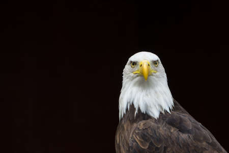 A portrait of a staring Bald Eagle against a black ideal for caption.