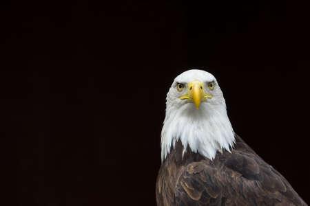 aguila calva: Un retrato de un águila calva mirando contra un negro ideales para subtítulos.