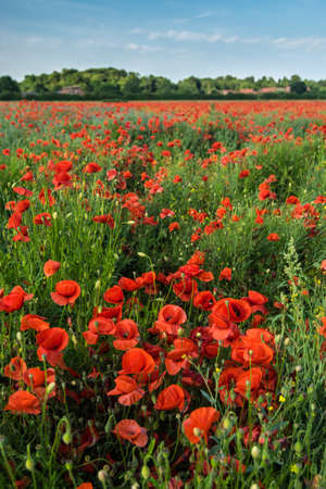 remembrance day poppy: A field of poppies Stock Photo