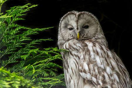 ural owl: Ural Owl against black background