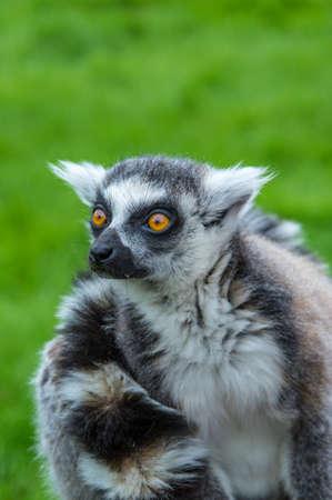 wide eyed: Wide eyed staring lemur at Banham Zoo