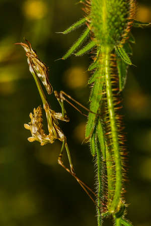 predatory insect: Praying Mantis closeup siting on the green leaf
