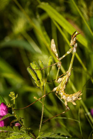 eye catcher: Mantis sitting close-up siting on the green leaf