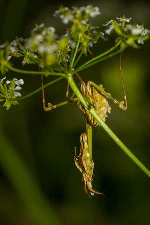 eye catcher: Praying Mantis close-up siting on the green leaf