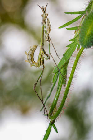 predatory insect: Praying Mantis close-up siting on the green leaf