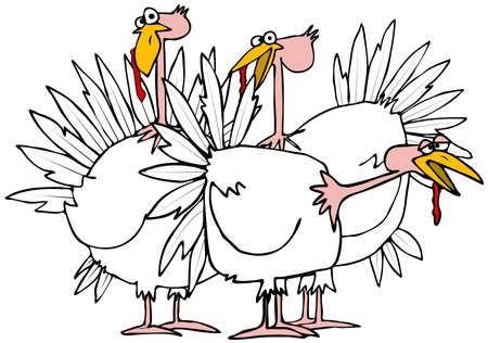 turkeys: Small flock of turkeys