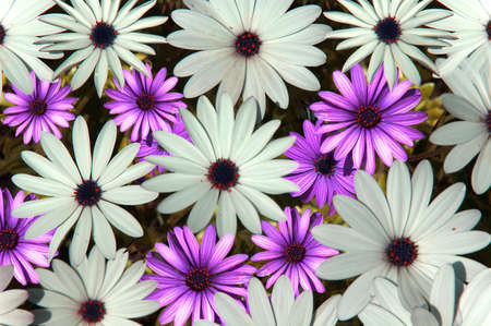 Daisies Stock Photo - 469446