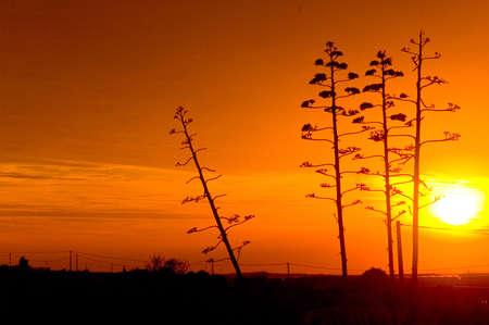 Spanish trees and sunset photo