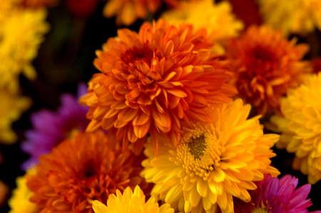 Chrysanthemes photo