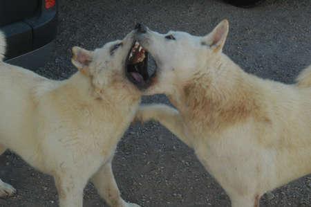 kampfhund: Leicht k�mpfender Hund Lizenzfreie Bilder