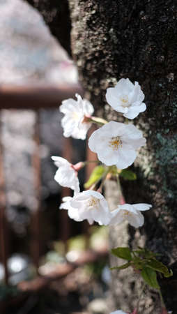 in full bloom: Delicate Cherry Blossom on the brown trunk