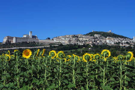 assisi: Assisi with sunflowers