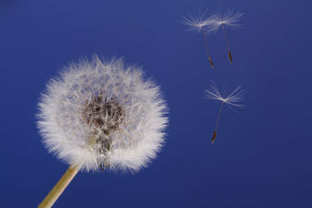 blue dandelion: dandelion