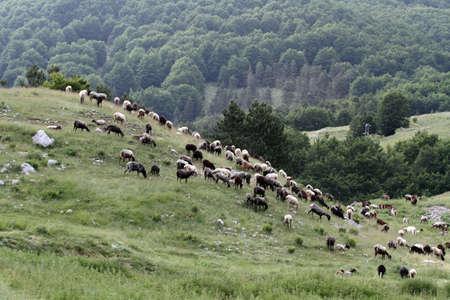 flock: flock of sheep grazing