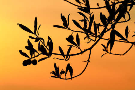 sunset tree: olives on the tree branch backlit Stock Photo