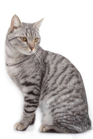 grey cat: grey cat on white background
