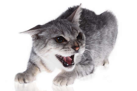 snarling: cat on the defensive growling
